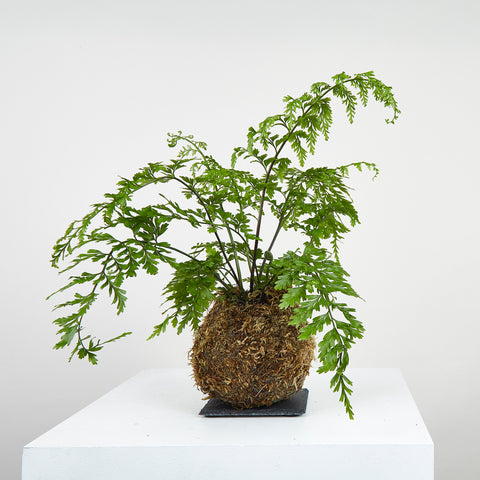 Mother Fern Kokedama