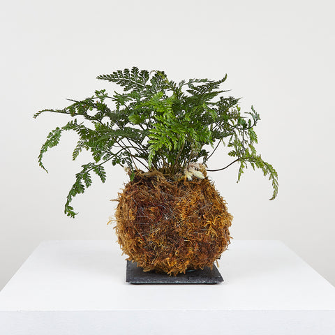 Rabbit's Foot Fern Kokedama