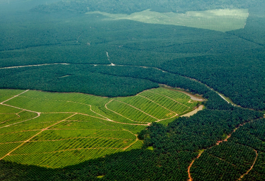 Deforestation due to palm oil