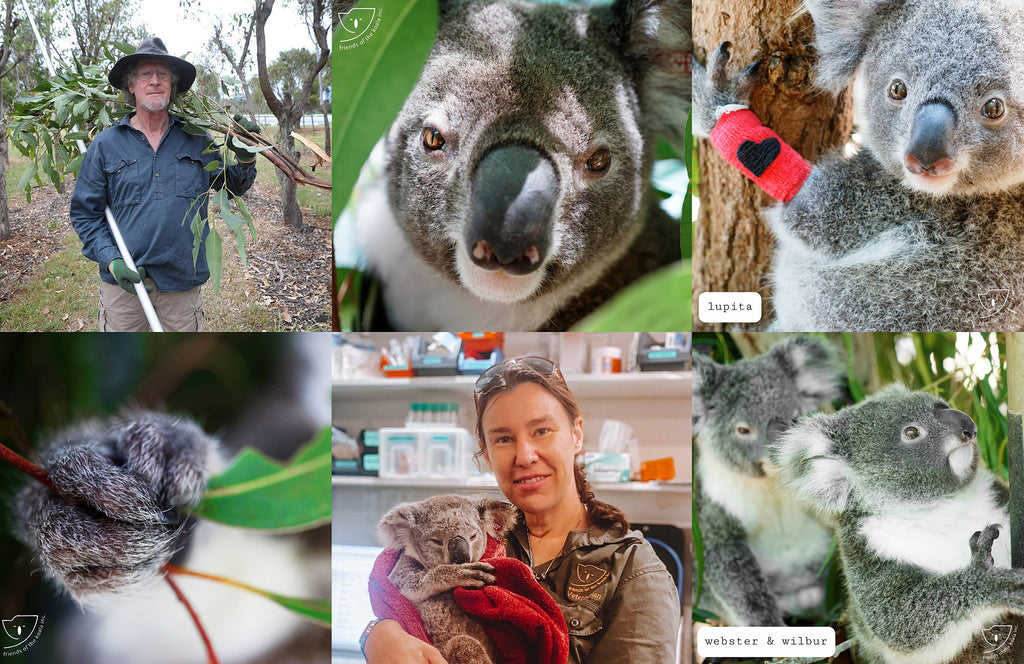 Friends of the Koala at work