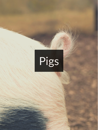 Pigs Optimized Hashtag Report