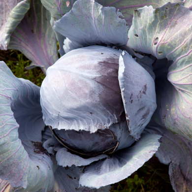 Seeds - Cabbage (Red) Organic