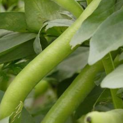 Seeds - Fava Broad Bean Organic