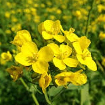 Seeds - Mustard (Yellow)
