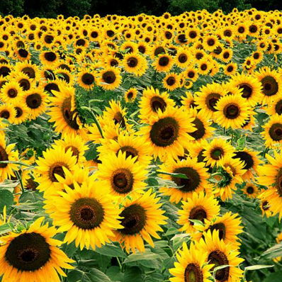 SUNFLOWER (Black Oil) ORGANIC SEEDS