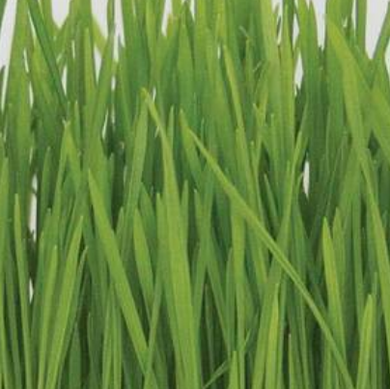Seeds - Wheatgrass (Hard Red Spring)