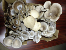Load image into Gallery viewer, Blue Oyster Mushrooms