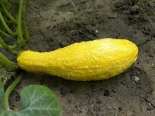 Load image into Gallery viewer, Yellow Crookneck Squash