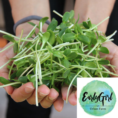 Sunflower Shoots Microgreens