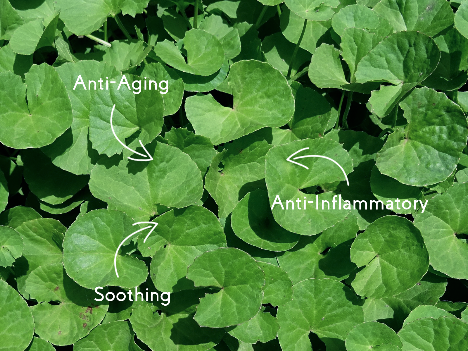 Centella Asiatica - A Skincare Essential for All Skin Types