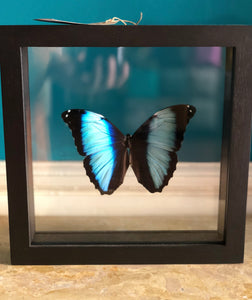 Morpho Helenor in der Liste