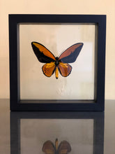 Laad de foto in de Gallery viewer, Ornithoptera Croesus in lijst