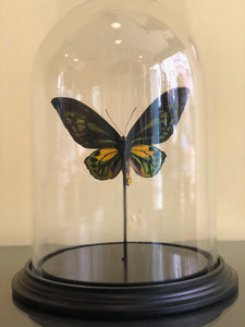 Ornithoptera Croeses