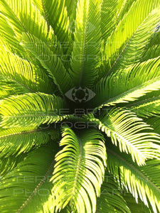 Photo of Sago Palm: New Growth #1