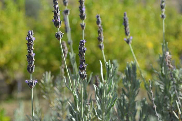 Spanish Spike Lavender. ANDALUZ Skincare Energising Spray - made with spanish lemon orange and lavender essential oils