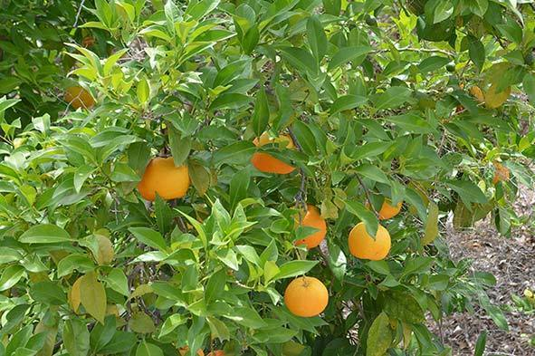 Oranges for ANDALUZ Skincare Energising Oil - a citrus moisturiser with olive oil and lemon, orange and lavender essential oils