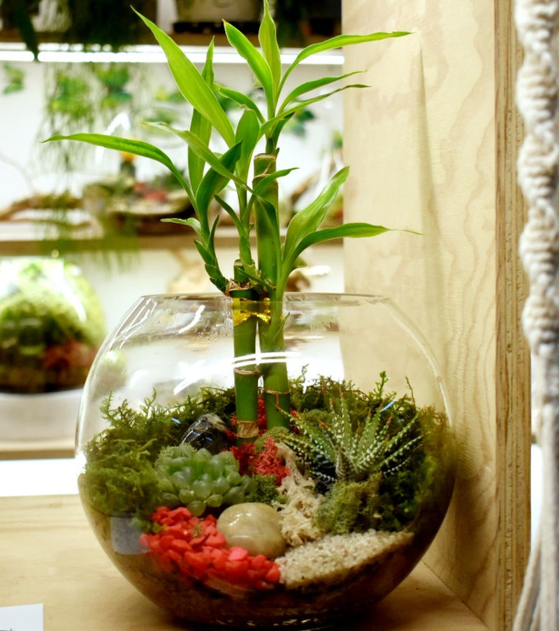 Lucky Bamboo Fishbowl Terrariums (Ready-made or DIY)