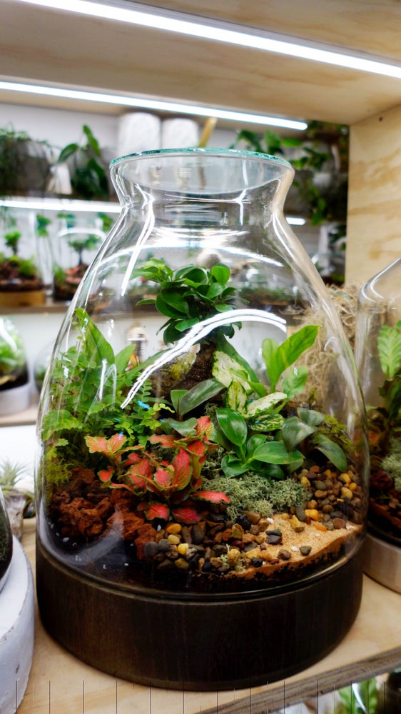 Mr Woody Dark Base Terrarium Enclosed