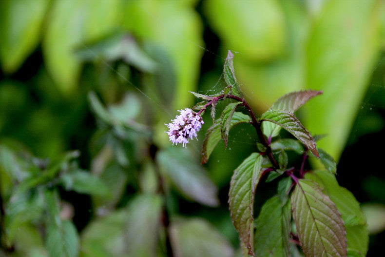 Mints are easily identifiable by their square stems, heavily scented leaves and characteristic flowerheads.