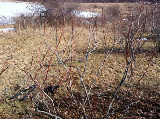 Blueberry Pruning