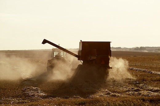 Famrer harvesting in drought parched field