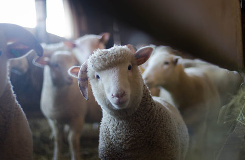 Vegan wool sheep