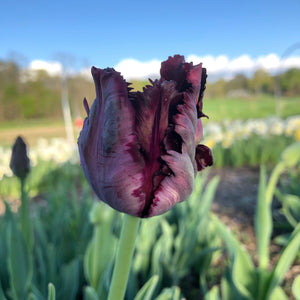 Five Weeks of Tulips and Spring Flowers 2021 • Pick Up