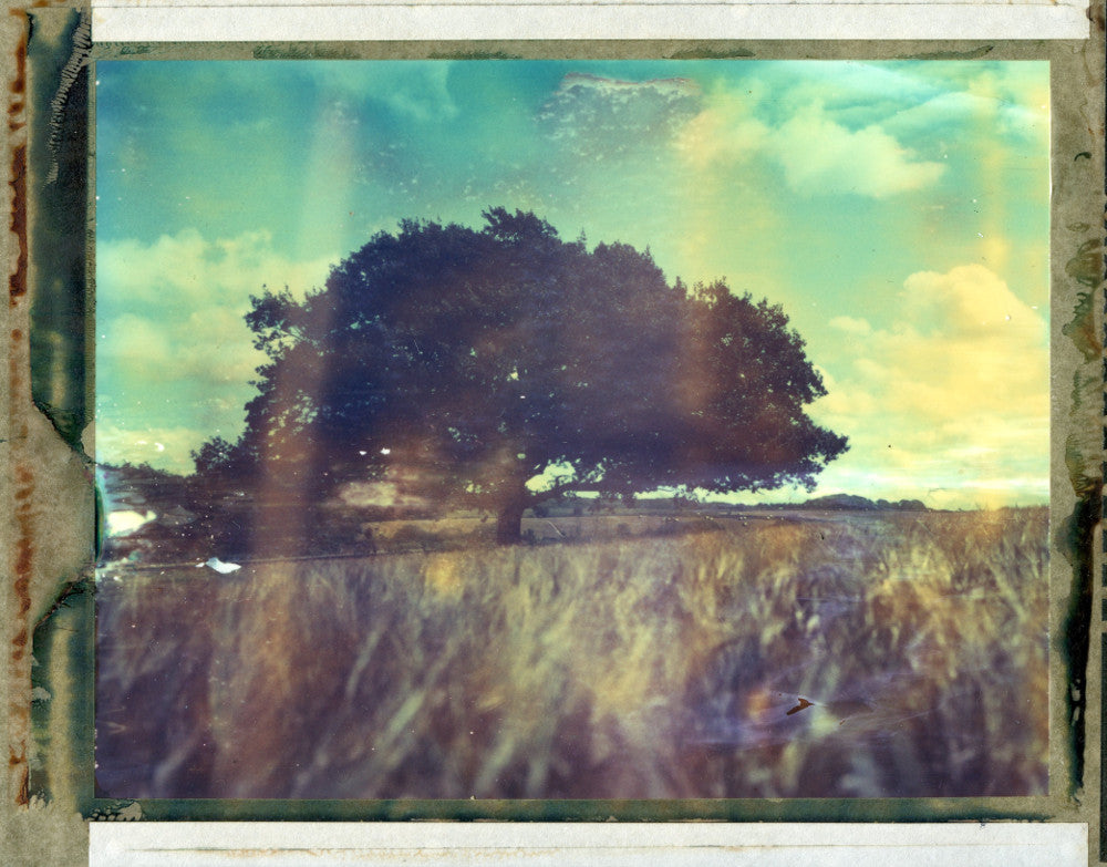 Polaroid image of an Oak tree in a cornfield