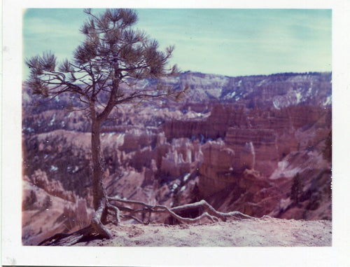 Polaroid of a tree on the rim of Bryce Canyon, Utah