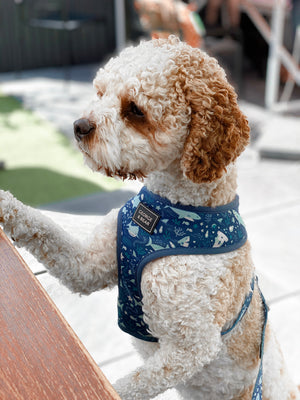 cavoodle dog in blue shark harness, george and bear