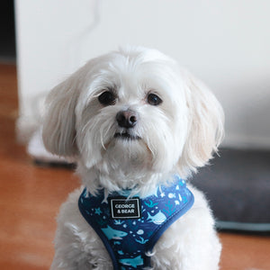 maltese dog in blue shark harness, george and bear