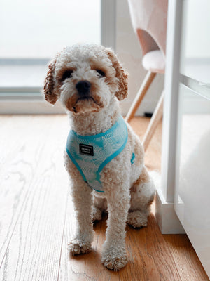 cavoodle dog in light blue leaf dog harness - george and bear