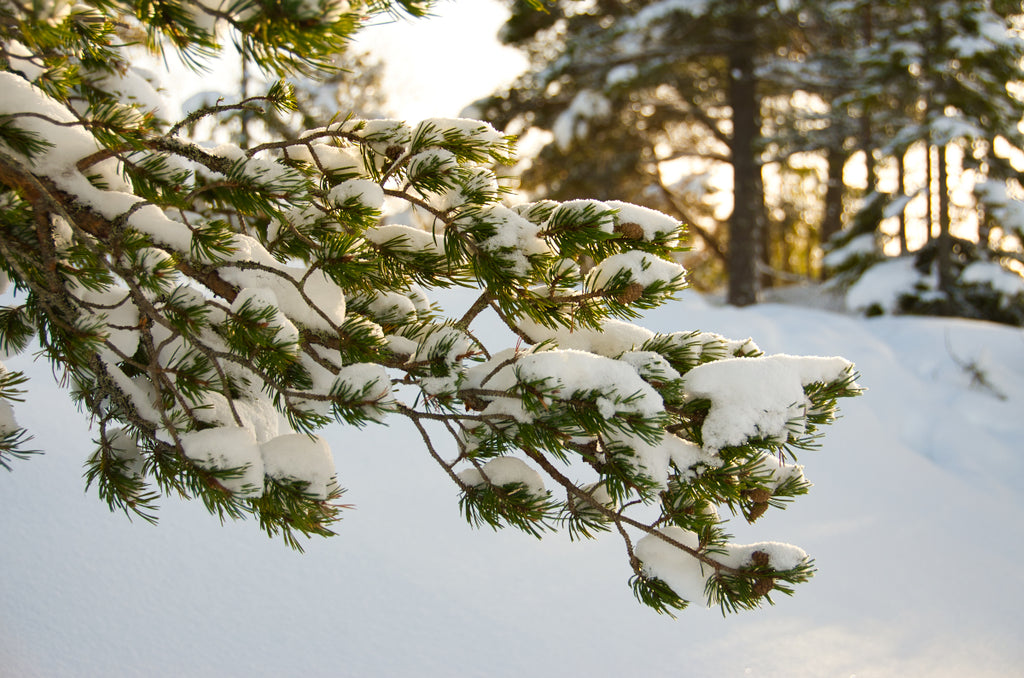 Sunlight on snowy pine branches