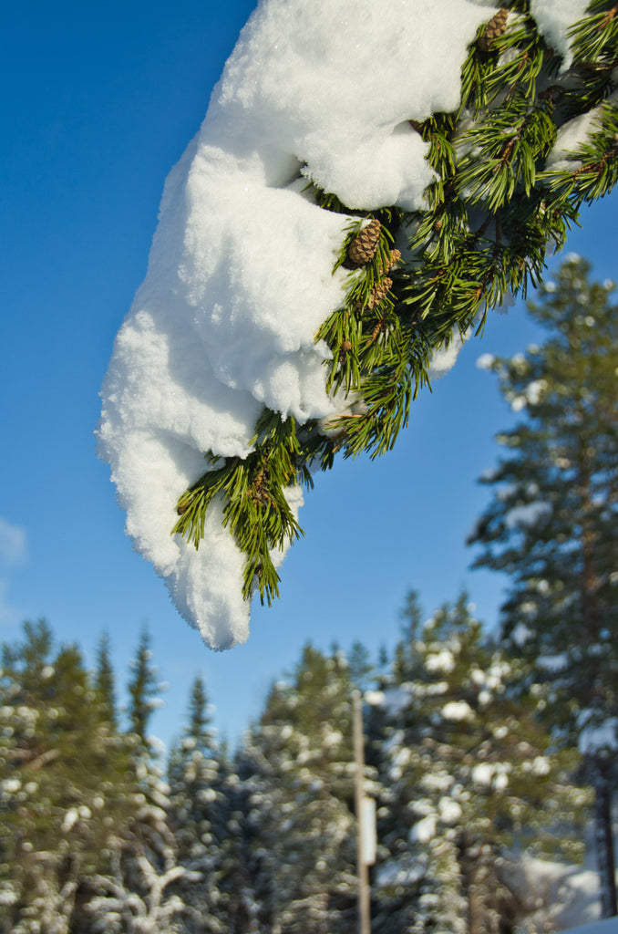 Snowy pine with blue skies