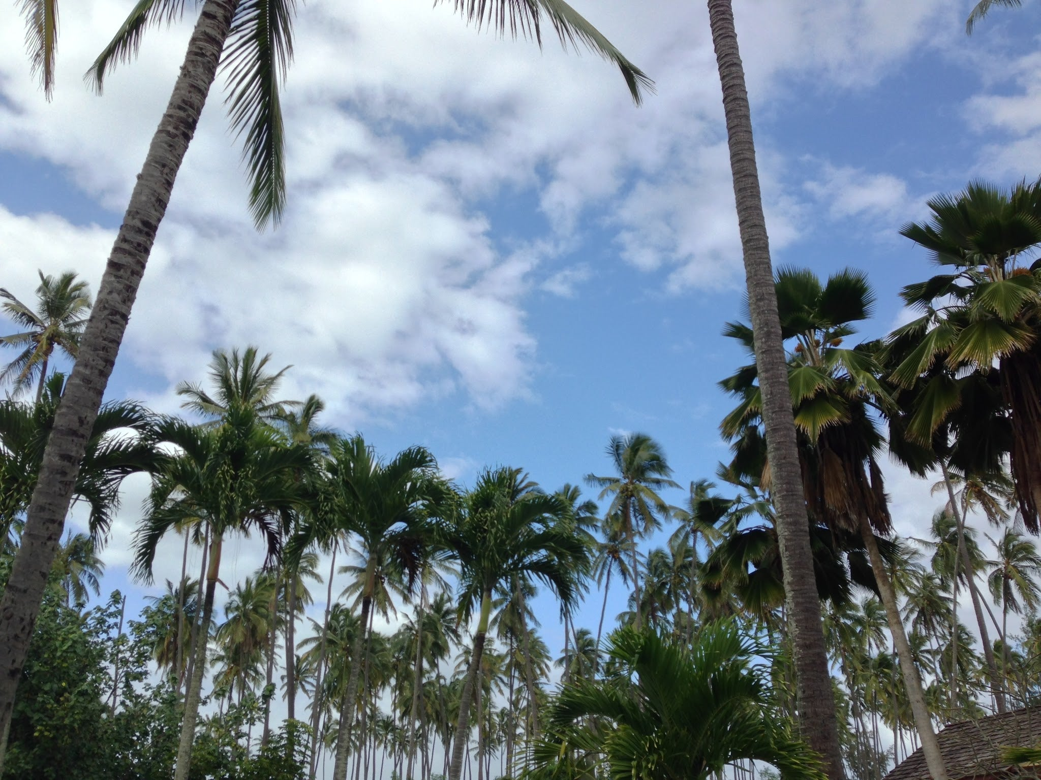 Palm trees across blue skies in Lihue, Hawaii