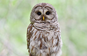 Barred owls, spotted owls, and the value of a life