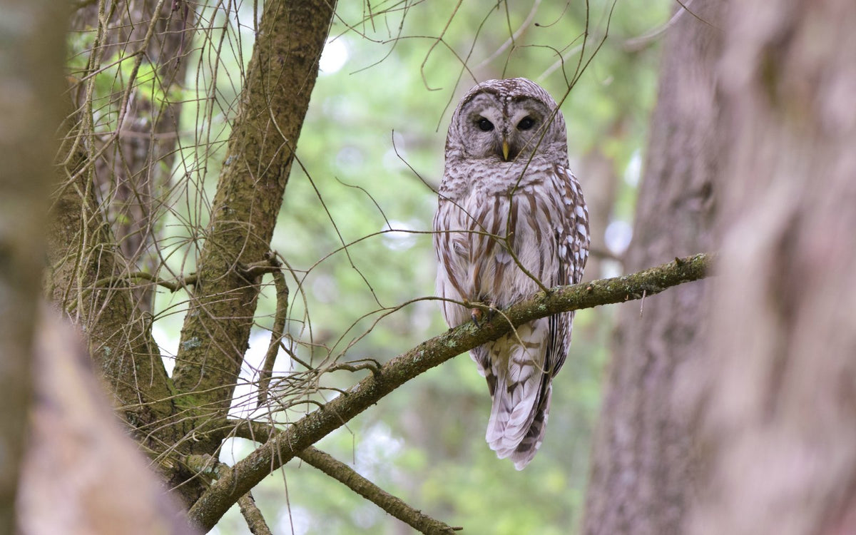 Barred owls, spotted owls, and the value of a life - Birds
