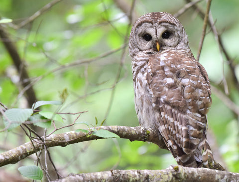A barred owl hunts crayfish along the Millstone River.