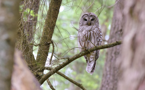 A barred owl peeking through a set of trees.