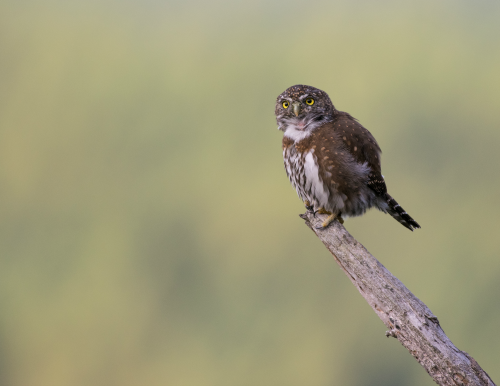 A perched northern pygmy-owl.