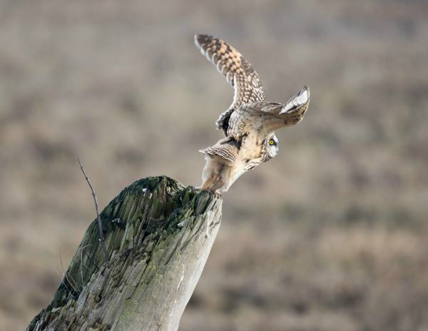 A short-eared owl takes flight.