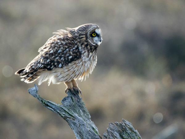Every so often, the short-eared owls would shake their feathers.