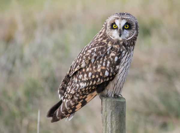 A short-eared owl perched on a fence post.