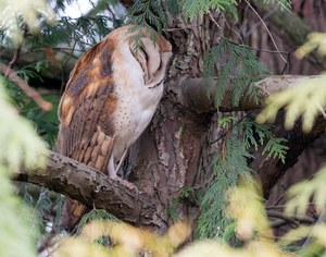 Sleepy Barn Owl