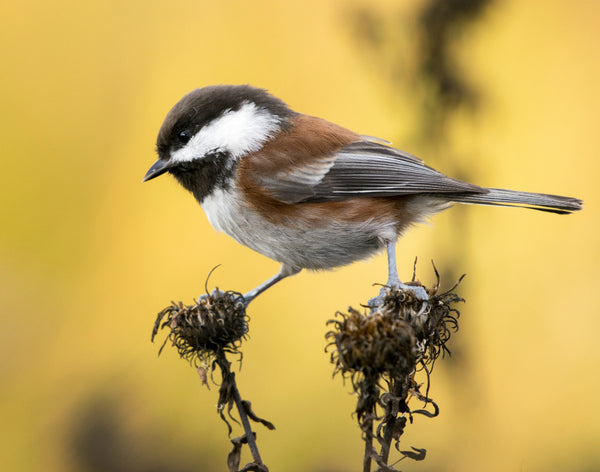 Composed Chickadee