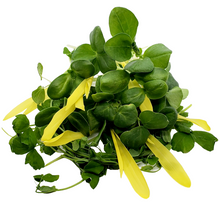 Load image into Gallery viewer, Organic Salad Mix Microgreens
