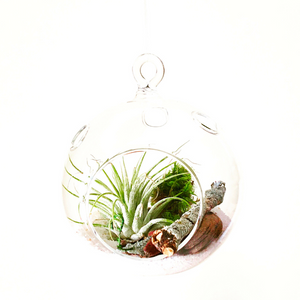 DIY Air Plant Hanging Globe Kit