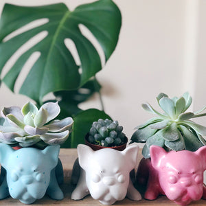 Frenchie Planter + Succulent