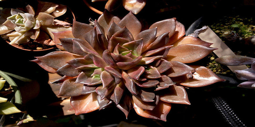 Echeveria 'Black Prince'(Black Hens and Chicks)