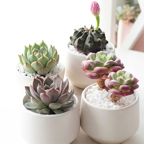5-rosette-succulents-rooted-in-mini-white-pots